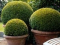 Box Ball topiary