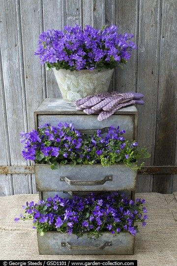 Vintage metal chest of drawers planted with Campanula Ocean and metal container planted with Campanula 'Monique'